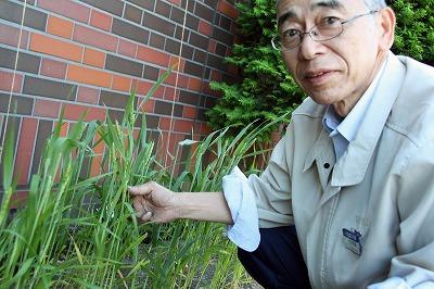 事務所の花壇で小麦の穂がでました~