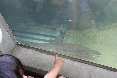 鮭をガブリ! ~円山動物園